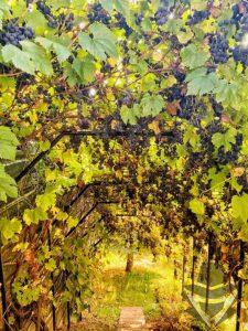 Užderėjo vynuogės. Ką iš jų gaminti, kai suvalgyti nebeišeina