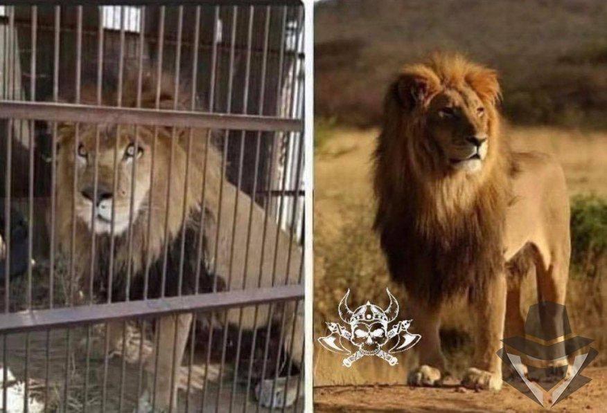 Vienas iš šių liūtų turi garantuotą stogą virš galvos, saugumą, ir nemokamą medicininę priežiūrą
